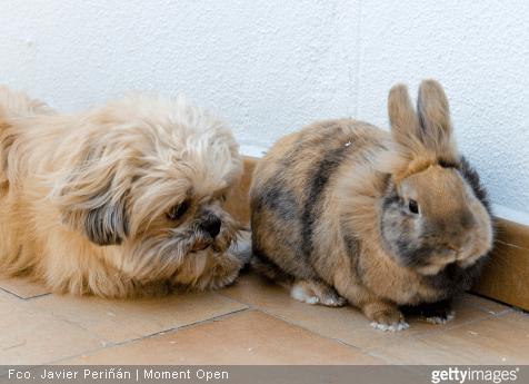 Attention à ne pas laisser votre lapin dans une pièce avec de la tapisserie, des fils électrique ou du téléphone apparents !